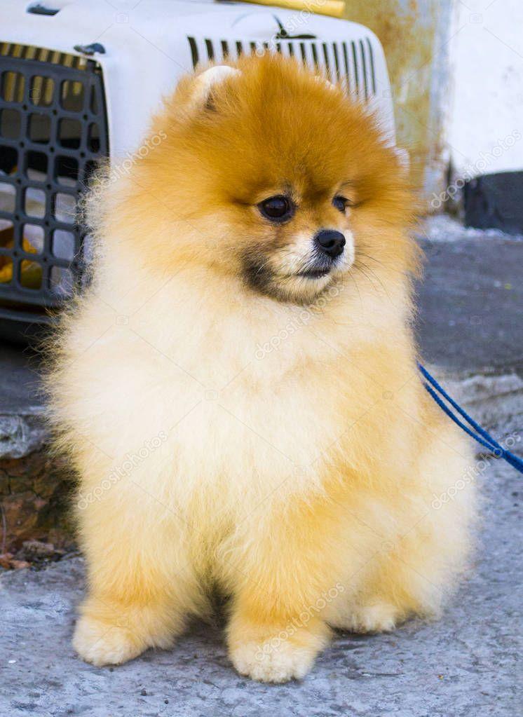 pomeranian. pomeranian spitz dog