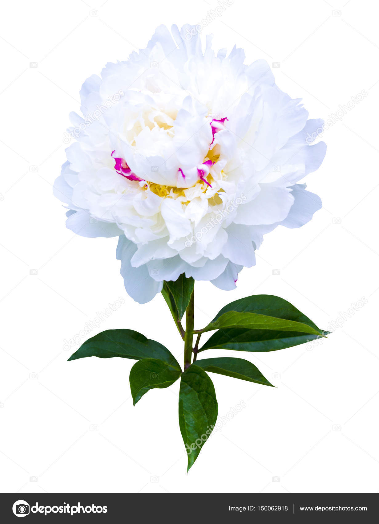 White Peonies Isolated On White Background Peonies Flowers Stock