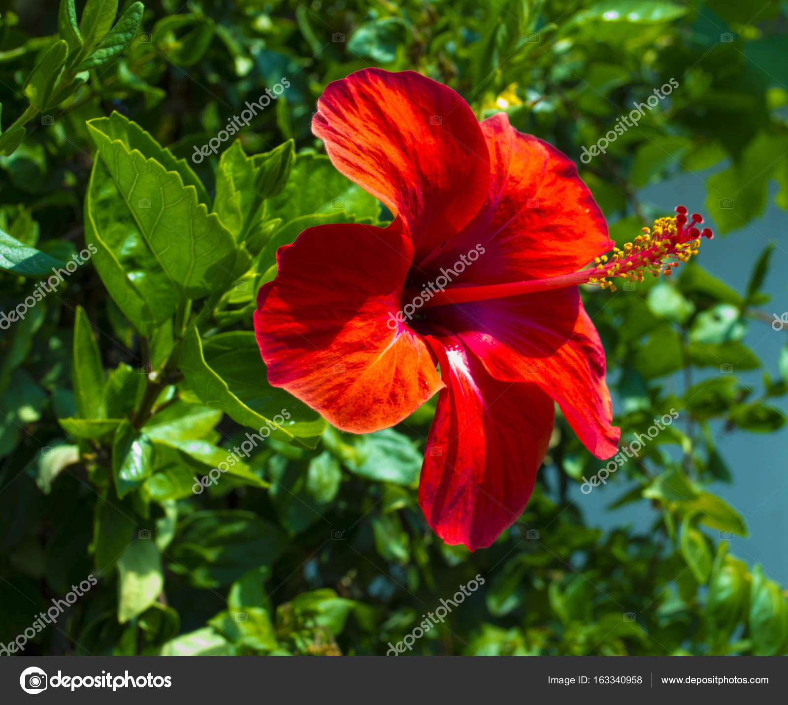 Hibiscus Karkade Hibiscus Flower Red Hibiscus Flower On A Gre Stock Photo Image By C Weter777 163340958