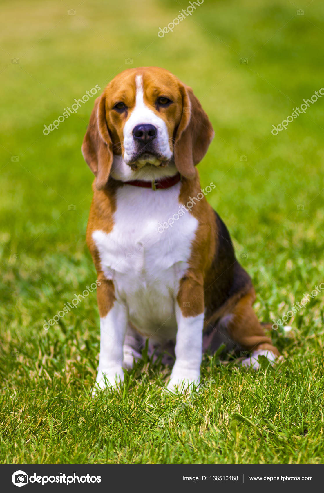 beagle dog on a green lawn dog beagle beagle dog stock photo