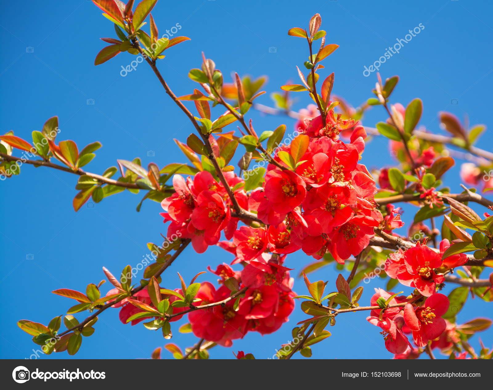 Fleurs rouges d\u0027arbre fruitier de printemps sur fond de ciel bleu \u2014 Image  de