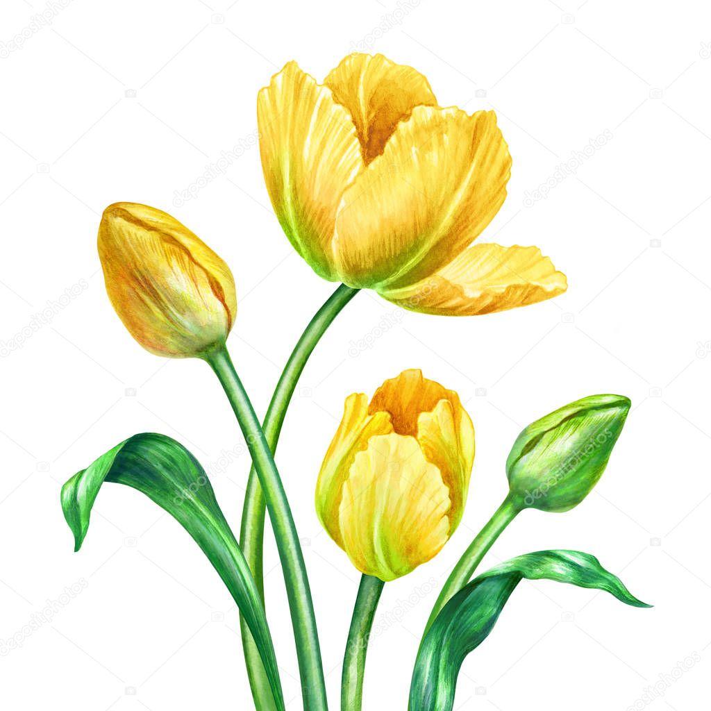watercolor yellow tulips, botanical illustration, isolated on white background