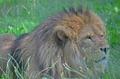 Muž Lev ležící v trávě