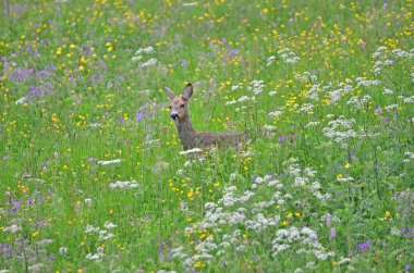 Roe Deer in a Meadow with flowers