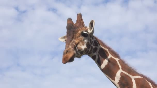 Vértes portré egy zsiráf ellen, blue sky