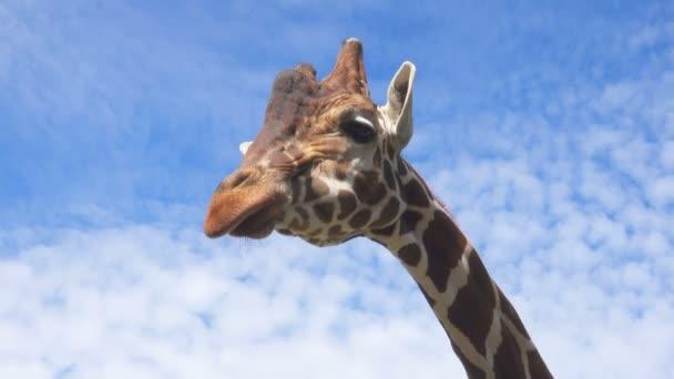 Detailní portrét žirafa proti modré obloze