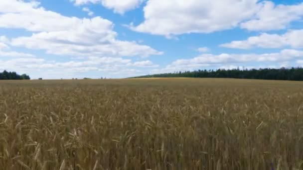 White clouds flying on blue sky over yellow field Wheat Time lapse.