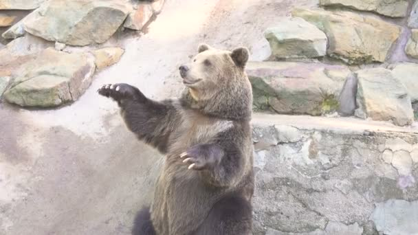 brown bear grizzly standing on its hind legs
