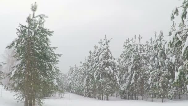 Hóesés a parkerdőben. Téli táj havas erdőben. Erős havazás. Hóvihar és a havas út közben egy hideg téli napon