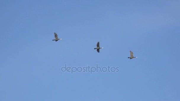 Vogelschwarm Gänse fliegen in Formation, blauer Himmel Hintergrund. Zugvögel fliegen in Formation