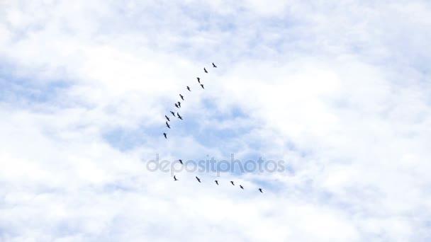 folgen Führer: Herde Gänse fliegen in einer unvollkommenen v Formation. Zeitlupe. Vögel Gänse fliegen in Formation, blauer Himmel Hintergrund. Zugvögel fliegen in Formation