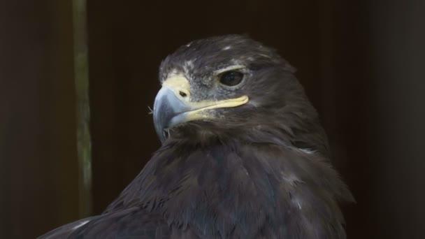 Der Kopf des Adlers ist eine Nahaufnahme auf schwarzem Hintergrund. Porträt eines großen Adlers. Raubtierjagd. Steinadler.