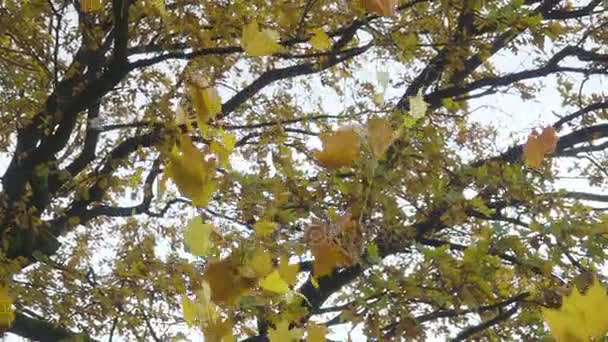 Golden autumn leaves falling from trees in slow motion.