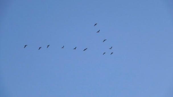Vůdce: hejno Racek létání v nedokonalé V tvorbě. Zpomalený pohyb. Ptáci Racek letící ve formaci, pozadí modré oblohy. Přenesení větší ptáci letící ve formaci
