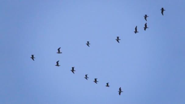 Führern folgen: Möwenschwärmen, die in einer unvollkommenen V-Formation fliegen. Zeitlupe. Möwen fliegen in Formation, blauer Himmel Hintergrund. Zugvögel fliegen in Formation