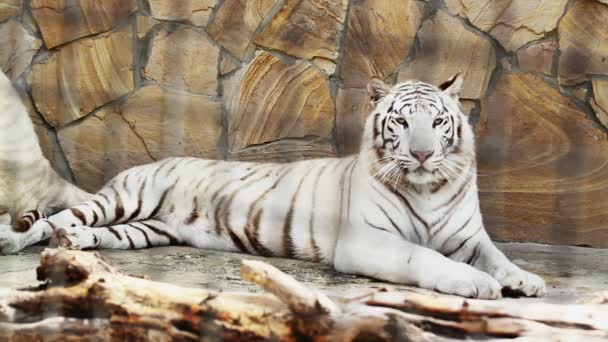 beautiful white tiger at rest