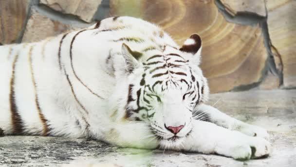 fehér tigris, lihegve-től a hő