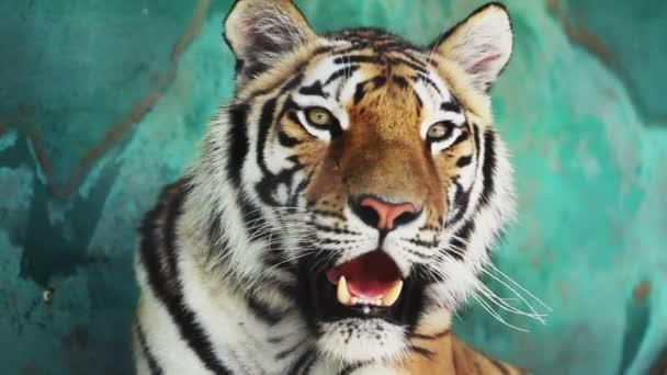 Bengáli tigris orr az árnyékban