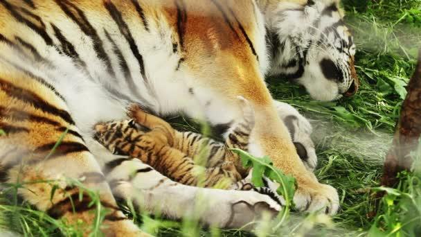 tygří mláďata krmení