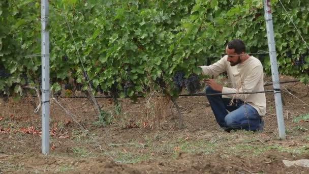 pěstitel sklizeň révy vinné