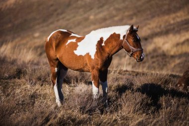 Pinto horse stands on the slopes