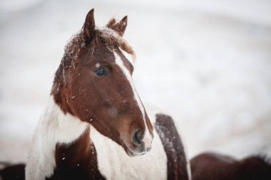 Portrait of a horse during  snowfall