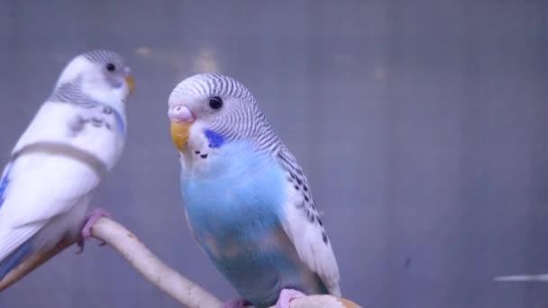 dvojice vlnité papoušci sedí na bidýlku