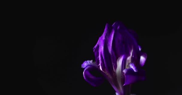 Fialový květ Iris se otevírá na černém pozadí v načasování