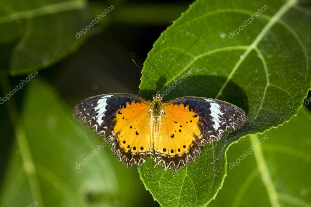 Image of butterfly perched on leaves on nature background. Insec