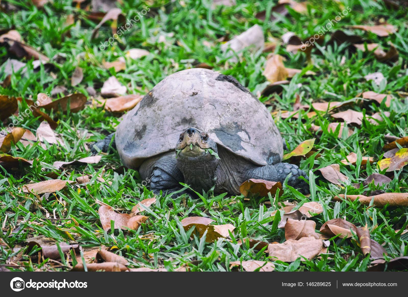 imagem de uma tartaruga na grama anfíbios stock photo yod67