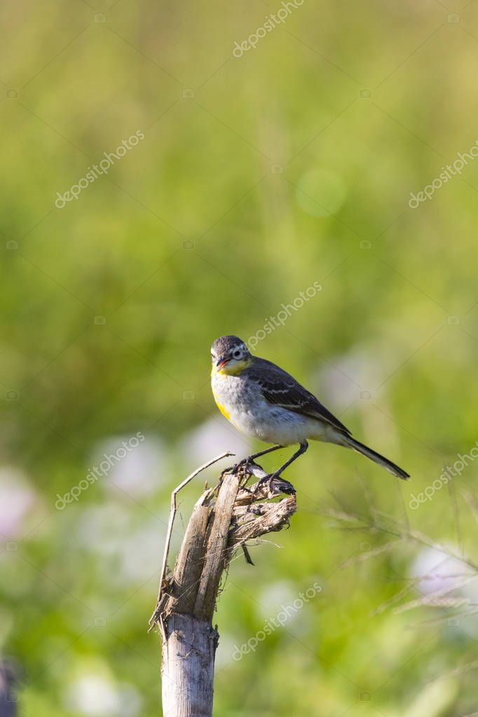 Image of Bird Eastern Yellow Wagtail (Motacilla tschutschensis)