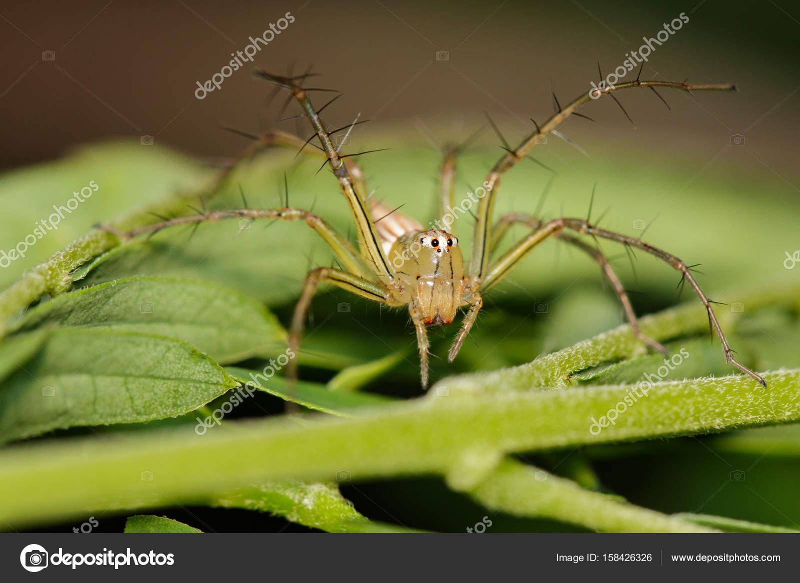Image of Oxyopidae Spider (Java Lynx Spider / Oxyopes cf. Javanu ...