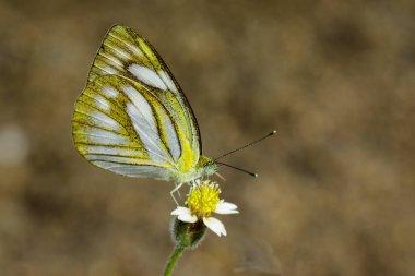 Image of Lesser Gull Butterfly (Cepora nadina nadina) on nature