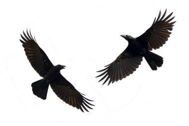 Image of black crow flying on white background. Animal. Black Bi