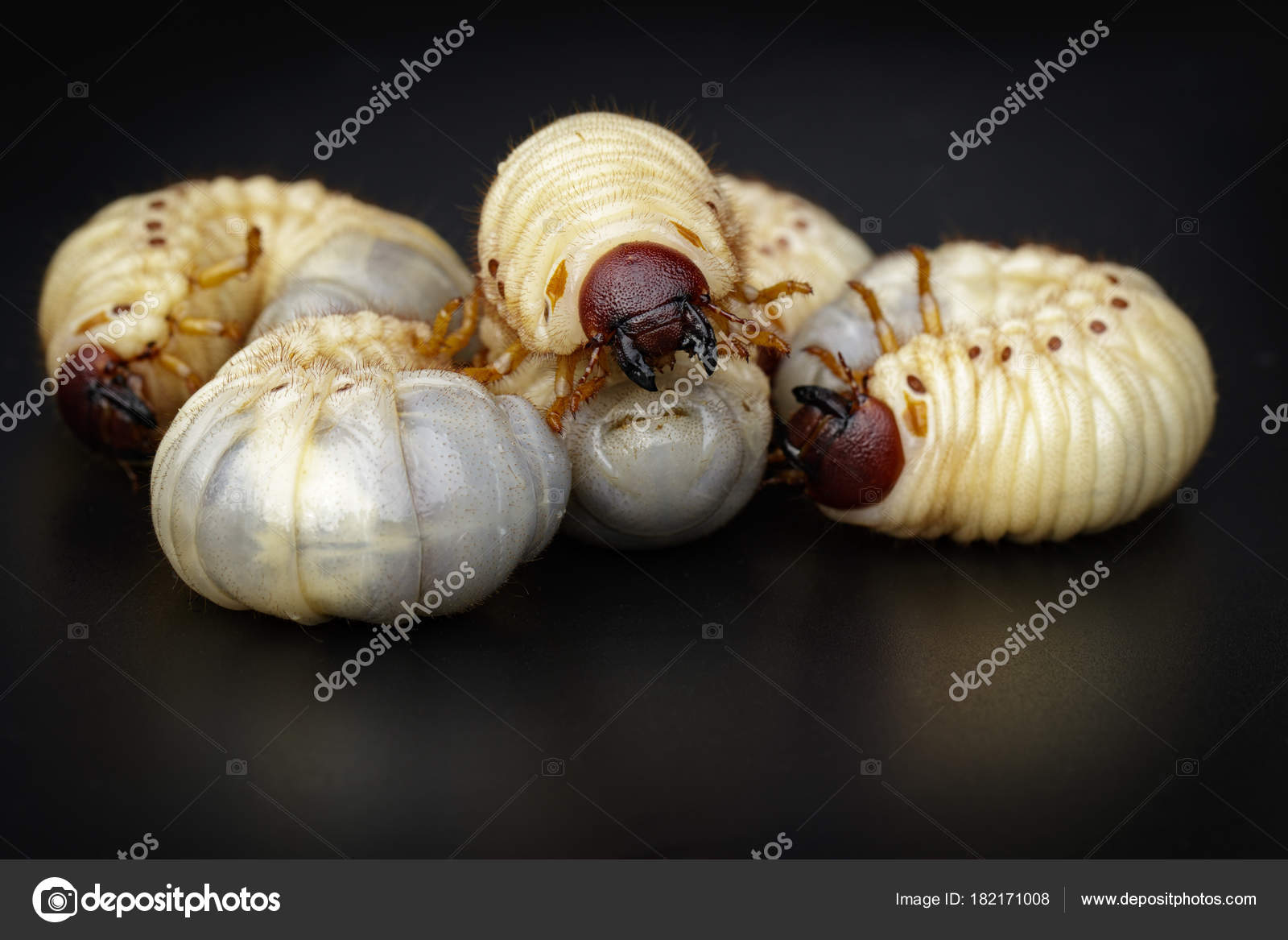 Image Of Grub Worms Coconut Rhinoceros Beetle Oryctes