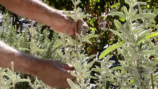 Muž řezání aromatické byliny