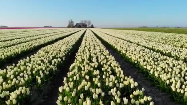 Légi drón repül gyönyörű színű tulipán mező Hollandiában. Drone kilátás izzó Mezőgazdasági mezők virágokkal. Fly over holland polder táj sokszínű tulipán mezők tavasz táj