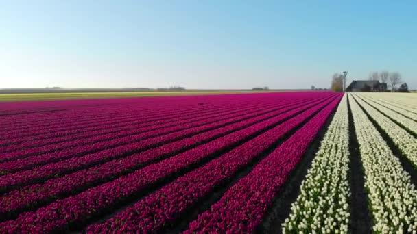 Letecký dron letí nad krásným barevným tulipánovým polem v Holandsku. Pohled na cibuli Zemědělská pole s květinami. Fly over Dutch polder krajina vícebarevná tulipánová pole jarní krajina