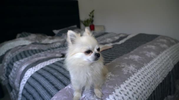 Aranyos kis hihuahua kutya fekszik egy nagy ágy a hálószobában körülnéz és ugat. Kutya ugat otthon. Az állatgondozás fogalma