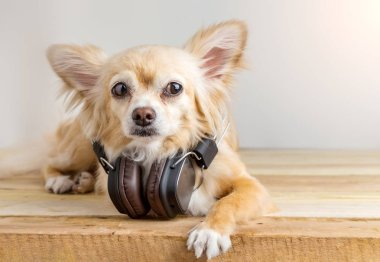 cute chihuahua dog listening to music in large leather dark wire