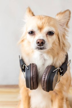 Cute chihuahua dog listening to music