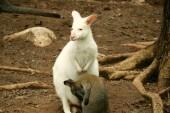 Fotografia canguro bianco allo zoo
