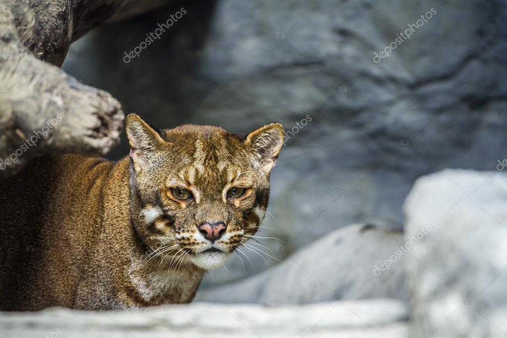 Asian golden cat Chiang Mai Zoo, Thailand– stock image