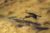 Africké openbill v Kruger National park, Jihoafrická republika