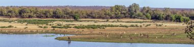 Landscape with antelopes in Kruger National park, South Africa