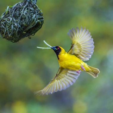 Southern Masked Weaver in Kruger National park, South Africa