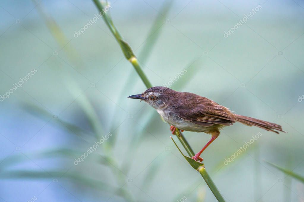 Tawny-flanked Prinia in Kruger National park, South Africa