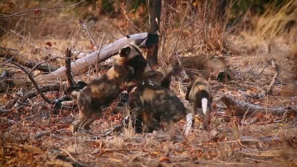 Fiatal afrikai vadkutyák falkája a dél-afrikai Kruger Nemzeti Parkban; Specie Lycaon pictus kutyafélék családja
