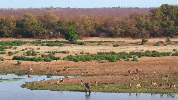 Impalák csordája a folyami vadonban a Kruger Nemzeti Parkban, Dél-Afrikában