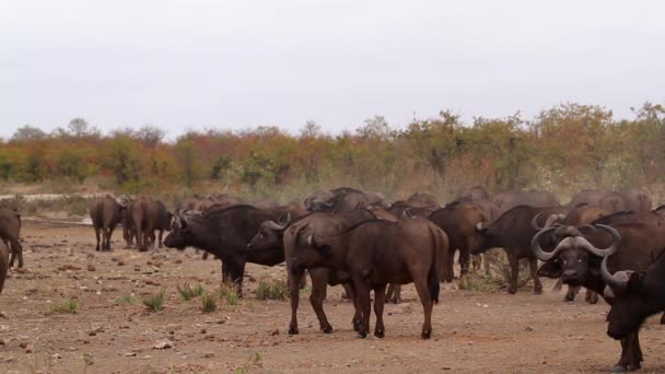 Herd of African buffalo on the move in Kruger National park, South Africa ; Specie Syncerus caffer family of Bovidae